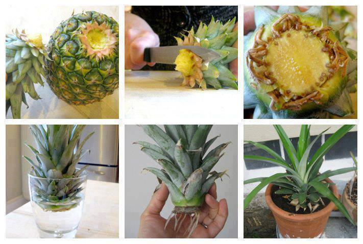 pine-apple – how to grow it at home