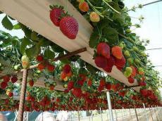 Висящи ягоди - мечта в градината