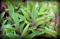 градински чай - салвия